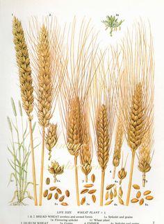 Vintage Botanical Print Antique WHEAT grains от VintageInclination, $9.00