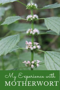 My Experience with Motherwort |Motherwort | Herbs | Herbal Remedies | Home Remedies | Gardening | Growing Herbs | My Healthy Homemade Life