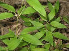 Shibataea kumasaca     Ruscus Bamboo, Dwarf Bamboo Plant Type: Evergreen Leaf Type: Broadleaf Hardiness Zone: 6, 7, 9  Height: 5-8 feet Spread: 1-2 feet Light Exposure: Sun, Part Sun Drainage: Well drained, Moist