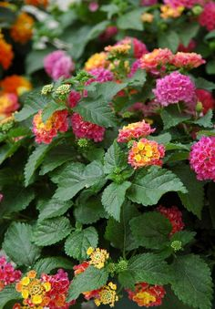 Lantana Bandito Rose... I have this all over. In a hanging basket & 4 little ones in the ground as ground cover.