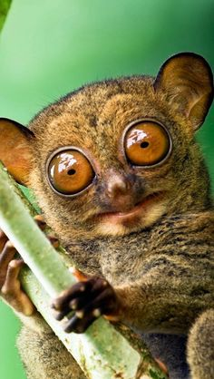 "A Western Tarsier:  ""I Only Have Eyes For You...""      (Habitat: Sabah, Borneo.)"