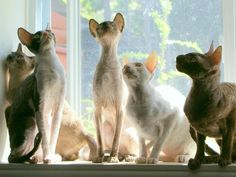 cornish_rex_familly