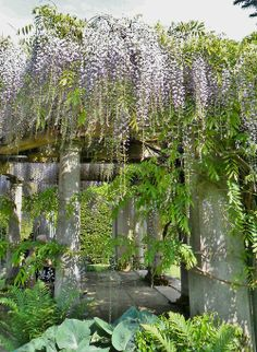 Wisteria Covered sun terrace, Exbury Gardens, New Forest, Hampshire, England  All Original Photography by http://vwcampervan-aldridge.tumblr.com