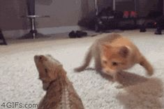 Little kitten is trying to find a safe way to attack the scary thing with eyes.  Just about every trick a cat has shows up in his approach.