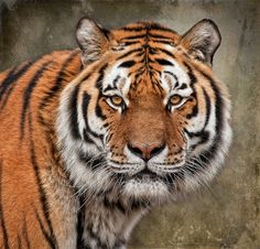 The Stare by Phil Morgan Wild Animals Photos, Animals Images, Animals And Pets, Cute Animals, Tiger Photography, Wild Animals Photography, Tiger Pictures, Cute Animal Pictures, Big Cats