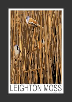 Bearded Tits at Leighton Moss, Lancashire (Art Print)