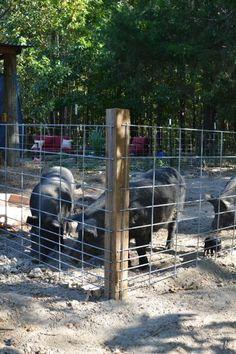 Building a Pig Pen with Hog Panels - JJ Acres Pig Farming, Backyard Farming, Chickens Backyard, Pig Shelter, Animal Shelter, Pig Fence, Hog Farm, Pot Belly Pigs, The Barnyard