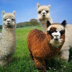 ❤ Alpaca Toys ❤ Soft, Fluffy and Handmade in Peru ❤ Alpaca Funny, Alpaca Toy, Llama Alpaca, Baby Farm Animals, Animals And Pets, Cute Animals, Funny Llama Pictures, Lama Animal, Alpacas