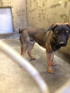THIS POOR GUY IS CODE RED! Shelter is at max capacity and he needs out. He's a Shepherd mix, under 1 year old. Even looks like he's got a cute, stubby little tail! Please consider fostering or adopting him! Save a shelter pet and save a life! Kennel A6***$51 to adopt. Odessa TX Animal Control. https://www.facebook.com/speakingupforthosewhocant/photos/a.573572332667009.1073741829.248355401855372/759134964110744/?type=1&theater