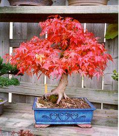 rs bonsai acer sieboldianum siebolds ahorn 015. Black Bedroom Furniture Sets. Home Design Ideas