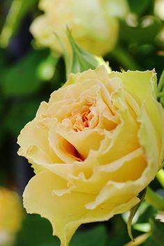 https://flic.kr/p/ekrdRr | Yellow Rose