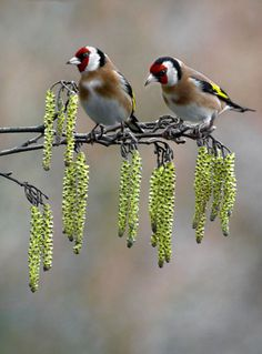 Signs-of-Spring-Goldfinch