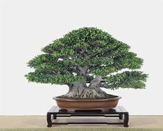 Bonsai Ficus, Bonsai Trees, Live Plants, Tropical, Herbs, Leaves, Twin, Gardens, Beautiful