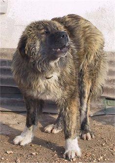 Bulgarian Shepherd Dog For Sale