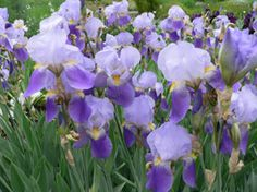 Lavender iris....so lovely when growing in large groups....just wish the blooms would last longer...don't plant too deep or the tuber will rot...