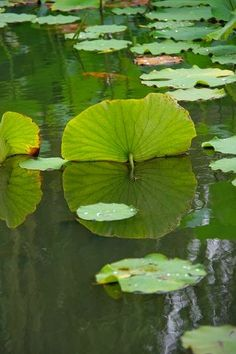 Mysteries In Foxworth Village Lotus Leaves, Plant Leaves, Lotus Flowers, Lotus Blossoms, Colorful Flowers, Beautiful Flowers, Beautiful Scenery, Goldfish Pond, Pond Life