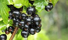 #Blackcurrant #vitamin boosts fat burning by as much as regular exercise #curranz https://dailym.ai/2rmBKN6