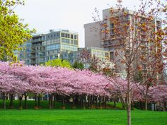 Cherry blossom trees at Spencer Smith Park (May 5, 2015)  Photo by MME