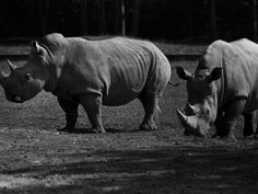 Animals ruled the crowd at early Kings Island. Photo: August 1984: Endangered white rhinos from Africa at Kings Island's Wild Animal Habitat. Enquirer file photo