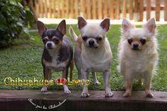Chihuahuas Love - Montar Negocio ó Criar Chihuahuas. Decisiones Vitales con Chihuahuas.