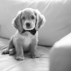 Cocker Spaniel.. Looks like my baby.. When he was a puppy :)