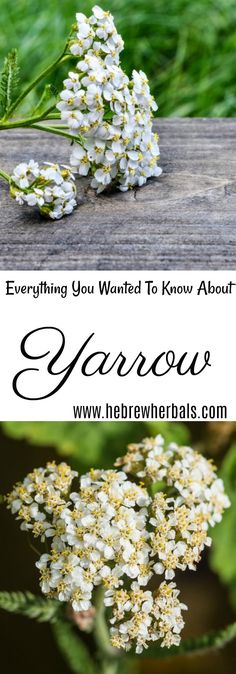 Learn about yarrow, ways to grow it, and how to use it to help support your liver, lessen varicose veins and ease indigestion. www.hebrewherbals.com