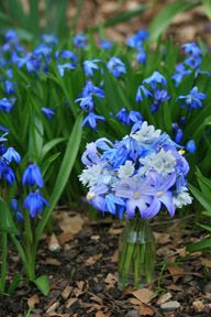 SCILLA is a captivating woodland flower that blooms in early spring. Once it spreads it's like a big blue carpet of blue in the forest.
