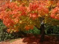 Cuento otoño por que cambian las hojas de color.
