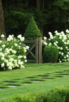 limelight hyfrangea cones, clipped boxwood and dwarf alberta spruce peaks - Gardening Lene