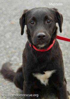Meet Malcolm, an adopted Labrador Retriever Mix Dog, from Random Rescue in Williamstown, VT on Petfinder. Learn more about Malcolm today. Labrador Retriever Mix, 6 Month Olds, 6 Months, Adoption, Dogs, Animals, Foster Care Adoption, 6 Mo, Animales