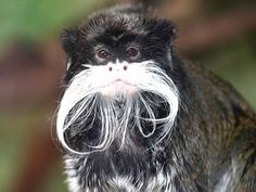 my vote for best monkey mustache