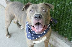 MURDERED 8/21/16 Manhattan center AFIS – A1085288 MALE, BR BRINDLE, AM PIT BULL TER MIX, 3 yrs STRAY – STRAY WAIT, NO HOLD Reason STRAY Intake condition EXAM REQ Intake Date 08/13/2016, From NY 11369, DueOut Date 08/16/2016,