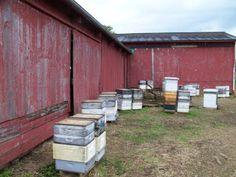 Bee hives working a field of buckwheat.