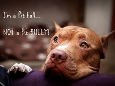 pit bulls - not pit bullies.