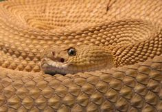THE MEXICAN WEST COAST RATTLESNAKE Photograph by H. Krisp Crotalus