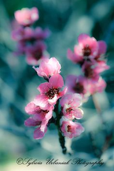 Spring is almost here! Blush/ 4x6 Fine Art Photography Print by SeeWorldThruMyEyes,