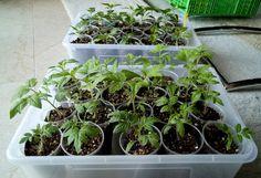Es hat sich in der letzten Woche wieder ein wenig getan, die Pflänzchen sind… Chili, Plants, Chile, Plant, Chilis, Planets