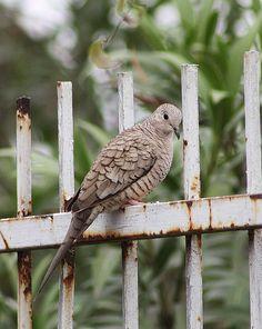Inca Dove seen in Houston,TX. Kinds Of Birds, Birds 2, Pet Birds, Bird Pictures, Horse Pictures, Types Of Pigeons, Dove Pigeon, Migratory Birds, Life List