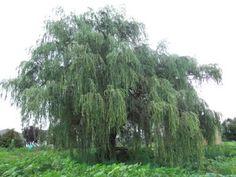 My favorite tree, Weeping Willow