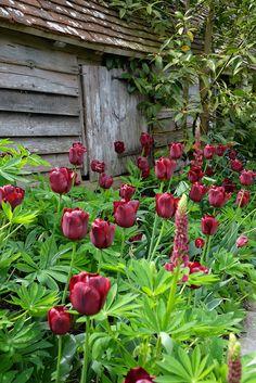 Englische Gärten - Tulpen und Lupinen, Great Dixter, Northiam, East Sussex, UK