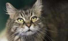 Sassy, a medium-haired brown tabby with an outgoing, loving disposition, has been adopted! She's delighted to capture your affection and be the center of your attention! Tabby Cats, Kittens, Lost Pets, 10 Year Old, Losing A Pet, How To Be Outgoing, The Fosters, Sassy, How To Find Out