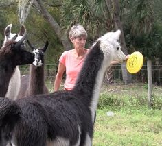 Teaching your camelid to target using a clicker and treats is a great way to both have fun and teach your animal a very useful behavior. You can use the target to position your animal, to self load in a trailer, to stand further away from you if he or she is becoming too forward and a lot more!