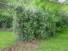Confederate Jasmine is an evergreen flowering vine, drought tolerant once established. It does not clump at the top, so would be ideal for covering a chain link fence year round.