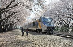 The Jinhae Gunhangje Cherry Blossom Festival, Changwon City, South Korea Japan Kultur, Cherry Blossom Petals, Celebration Around The World, Sakura, Creative Pictures, Funny Pictures, Train Tracks, South Korea, Places To See