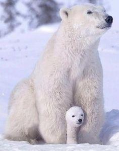 best ideas for baby animals wild polar bears Cute Creatures, Beautiful Creatures, Animals Beautiful, Animals Amazing, Nature Animals, Animals And Pets, Wild Animals, Cute Baby Animals, Funny Animals