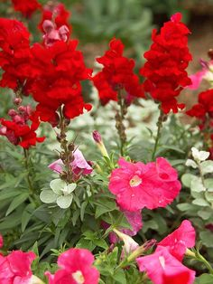 The rich-red 'Liberty' snapdragon blooms rise above the lower 'Fantasy Pink' petunias. Silvery licorice plant is a soothing foil that blends the two together.