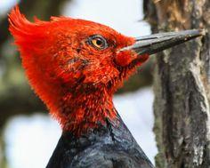 Carpintero Negro o Picamaderos de Magallanes.(Macho) Campephilus magellanicus,propia de los bosques andino-patagónicos de Chile y Argentina.