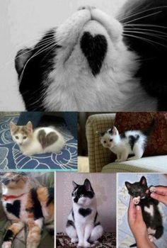 Animals With Heart Marking cute animals dogs cat cats adorable dog puppy animal pets kitten funny animals funny dogs Funny Cute Cats, Cute Kittens, Cats And Kittens, Kittens Meowing, Ragdoll Kittens, Tabby Cats, Bengal Cats, Pretty Cats, Beautiful Cats