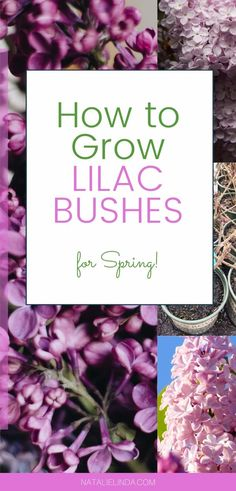 Learn how and when to plant a lilac bush so you can get beautiful Spring flower blooms! Lilacs are both fragrant and low-maintenance perennial shrubs that can last for decades in one spot in your yard or garden!