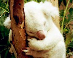 Our famous albino koala born here in 1997, Onya Birri, made this list of 7 famous albino #animals!